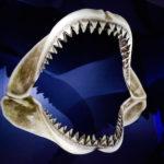 オオワニザメの歯の特徴について