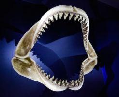 オオワニザメ 歯
