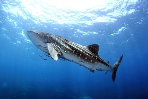 ジンベイザメ プランクトン なぜ