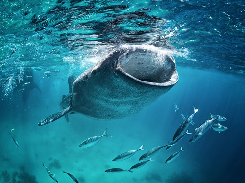 ジンベイザメ 捕食