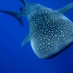 ジンベイザメの睡眠方法の謎について!