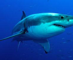 ホオジロザメ シャチ 比較 大きさ 骨格