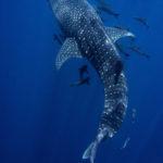 ジンベイザメの出産の時期について