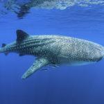 ジンベイザメの餌の量や時間について。魚は食べるの?