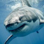 ホオジロザメの大きさや特徴について