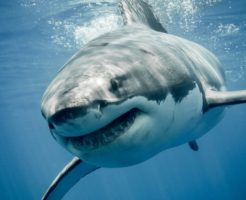 ホオジロザメ 大きさ 特徴