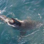 ホオジロザメによる日本での被害について