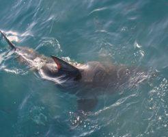 ホオジロザメ 日本 被害