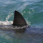 ホオジロザメの生息地について